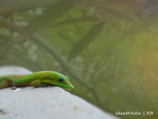 Island Studios - Gecko